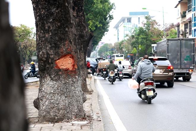 Hà Nội: Làm rõ việc hàng loạt cây xà cừ bị lột vỏ, đục khoét trên các tuyến phố lớn - Ảnh 2