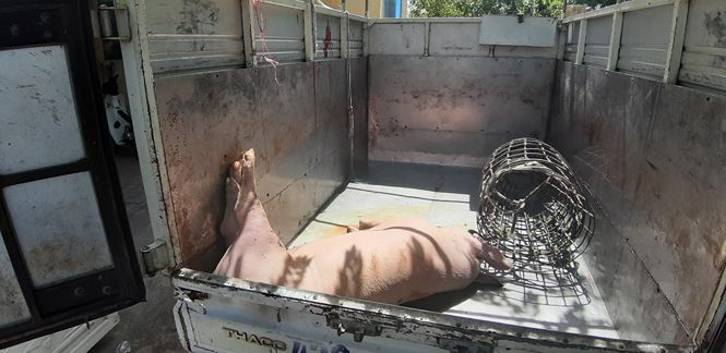Xử phạt tài xế chở lợn chết từ vùng dịch tả châu Phi về Đà Nẵng tiêu thụ - Ảnh 1