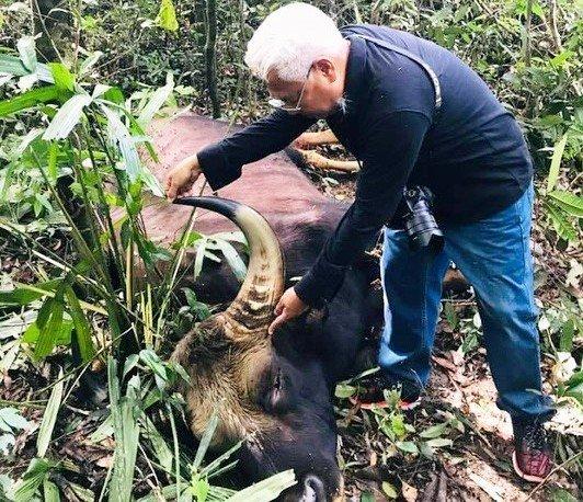 Đồng Nai: Phát hiện bò tót nặng 800kg nằm trong Sách đỏ chết trong rừng - Ảnh 1