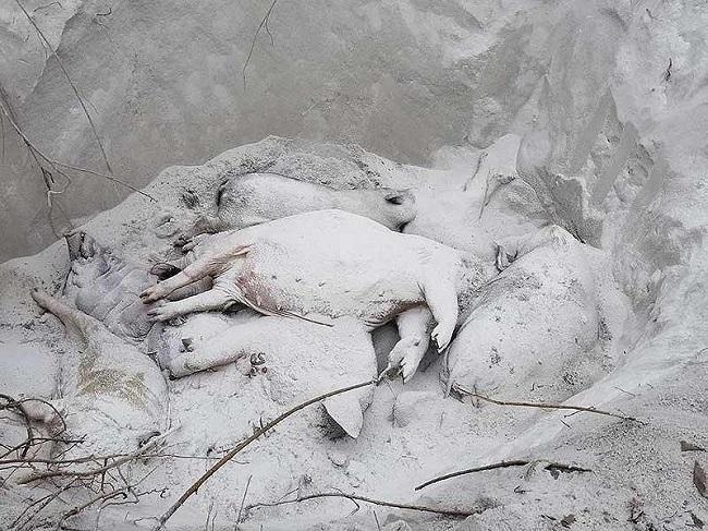 Quảng Nam: Mất heo vì mắc dịch tả lợn châu Phi, người dân còn phải nộp tiền cho xã tiêu hủy - Ảnh 2