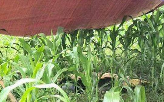 Hòa Bình: Người phụ nữ bị sét đánh tử vong giữa cánh đồng ngô - Ảnh 1