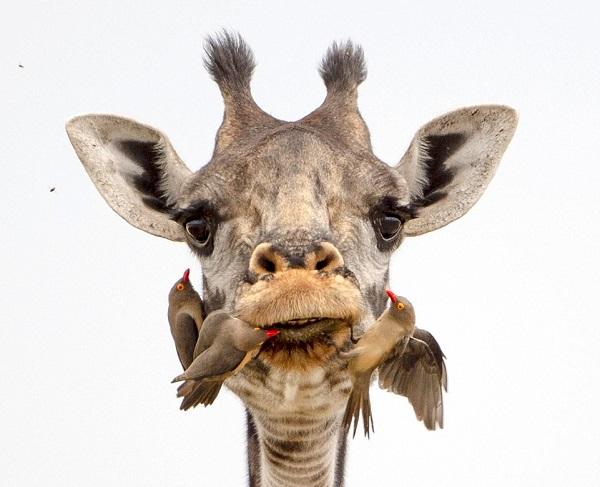Chùm ảnh: Hươu cao cổ đánh răng sạch như nha khoa chuyên nghiệp - Ảnh 2