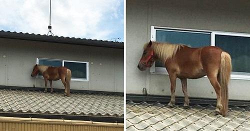 Nhật Bản: Ngựa đi lạc lên mái nhà sau trận lũ quét lớn - Ảnh 1