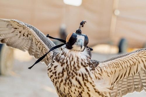 Huấn luyện chim ưng: Nghề kiếm ra hàng triệu USD ở Trung Đông - Ảnh 3