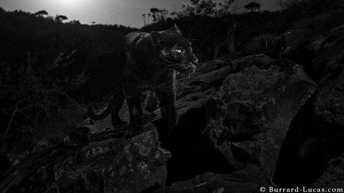 Phát hiện 'huyền thoại báo đen' châu Phi sau hơn 100 năm - Ảnh 1