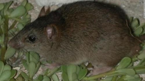 Báo động: Loài động vật có vú đầu tiên bị tuyệt chủng do biến đổi khí hậu - Ảnh 1