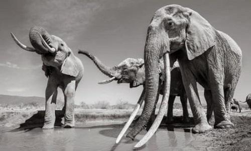 Những bức ảnh tuyệt đẹp của 'Voi Nữ hoàng' quý hiếm tại châu Phi - Ảnh 1
