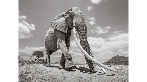 Những bức ảnh tuyệt đẹp của 'Voi Nữ hoàng' quý hiếm tại châu Phi - Ảnh 2