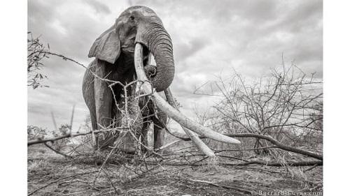 Những bức ảnh tuyệt đẹp của 'Voi Nữ hoàng' quý hiếm tại châu Phi - Ảnh 3