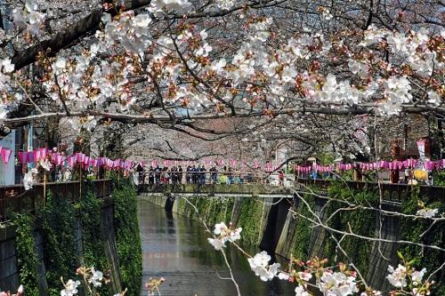 Những bức ảnh tuyệt đẹp về mùa hoa anh đào Nhật Bản 2019 - Ảnh 11