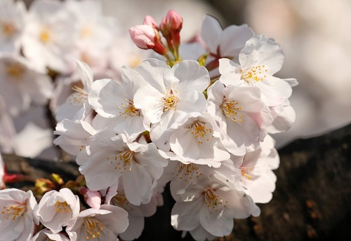Những bức ảnh tuyệt đẹp về mùa hoa anh đào Nhật Bản 2019 - Ảnh 13