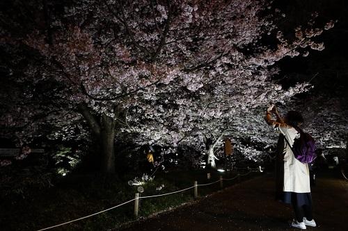 Những bức ảnh tuyệt đẹp về mùa hoa anh đào Nhật Bản 2019 - Ảnh 6