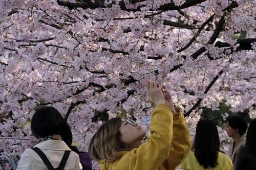 Những bức ảnh tuyệt đẹp về mùa hoa anh đào Nhật Bản 2019 - Ảnh 7