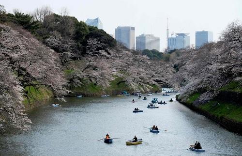 Những bức ảnh tuyệt đẹp về mùa hoa anh đào Nhật Bản 2019 - Ảnh 8