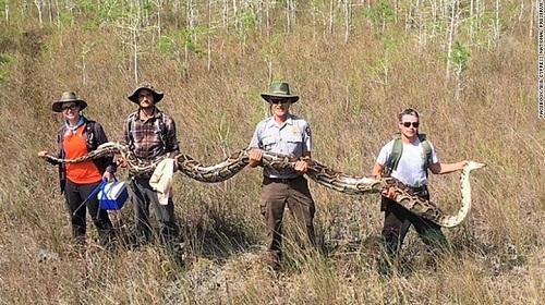Phát hiện con trăn khổng lồ dài hơn 5 mét, nặng hơn 60 kg ở Florida - Ảnh 1