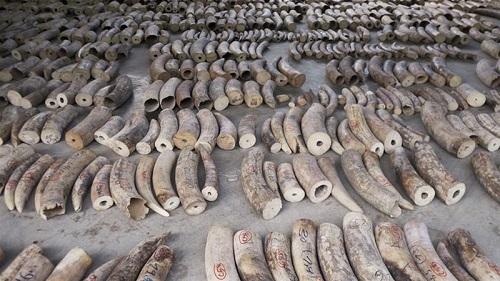Singapore thu giữ lô vảy tê tê, ngà voi trị giá hơn 48 triệu USD đang trên đường đến Việt Nam - Ảnh 1