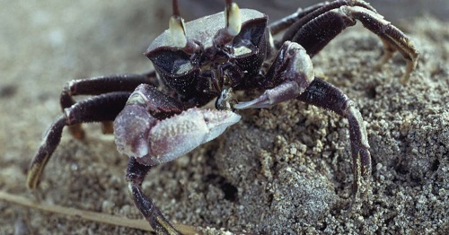 Tiết lộ về loài 'cua ma' sử dụng răng trong bụng để tấn công kẻ thù - Ảnh 1