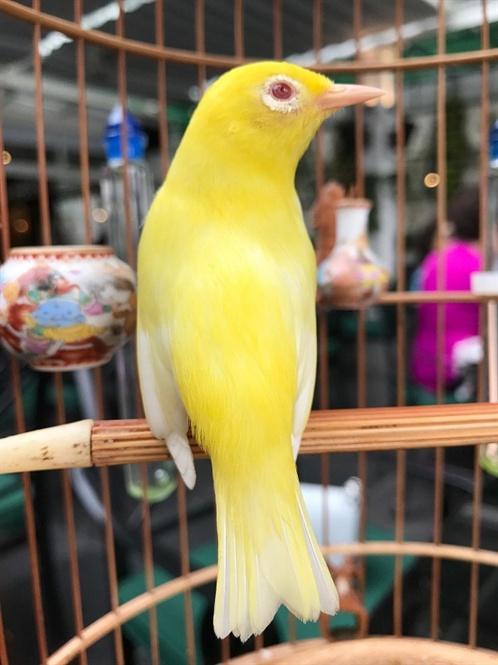 Hà Nội: Dàn chim đột biến trị giá hơn 10 tỉ của doanh nhân Chương Taylor sẽ xuất hiện tại Phố đi bộ Trịnh Công Sơn - Ảnh 1