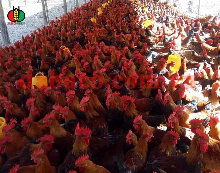 Vào gà J-DABACO đón Tết Nguyên đán 2020 - Ảnh 1