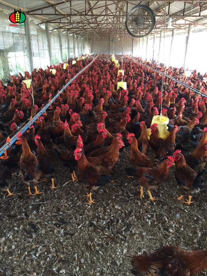 Vào gà J-DABACO đón Tết Nguyên đán 2020 - Ảnh 2
