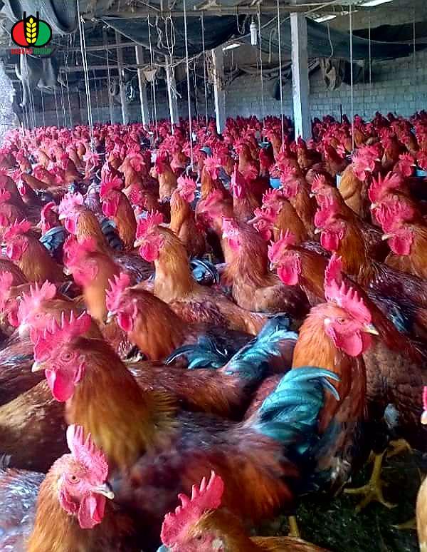 Vào gà J-DABACO đón Tết Nguyên đán 2020 - Ảnh 4