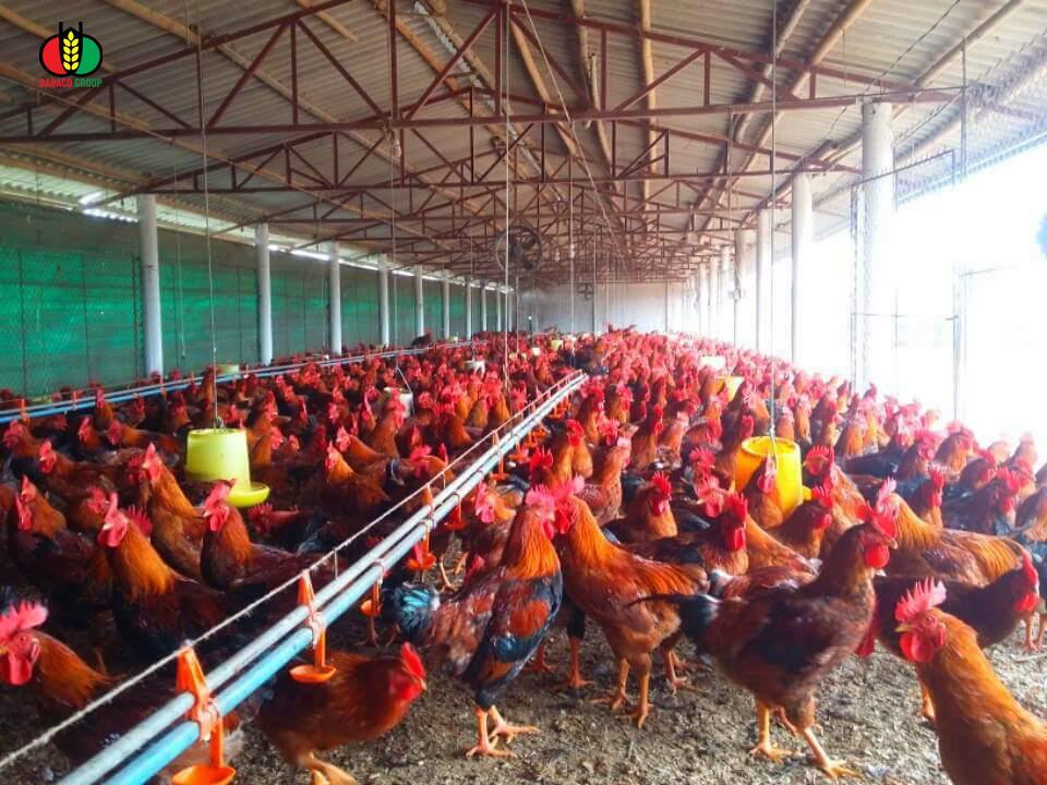 Vào gà J-DABACO đón Tết Nguyên đán 2020 - Ảnh 6