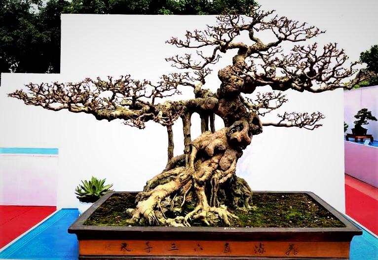 Hội nhập cây cảnh nghệ thuật, bonsai Quốc tế: Cách tiếp cận nào phù hợp với Việt Nam - Ảnh 3