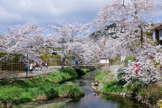 Tour Nhật Bản - Ngắm hoa anh đào dịp tết canh tý 2020 - Ảnh 3