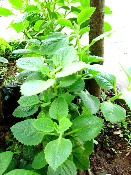 Bảo vệ bé trước tâm dịch corona băng loại cây nhà lá vườn: Lá húng chanh - Ảnh 1