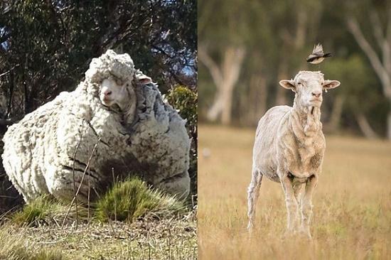 Chú cừu Chris nổi tiếng với bộ lông