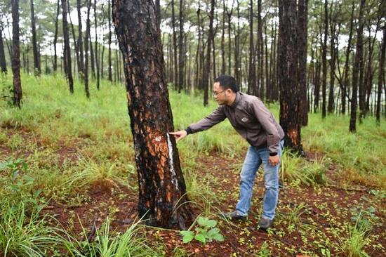 Tạm giữ nhóm đối tượng dùng thuốc diệt cỏ hủy hoại hơn 1.000 cây thông - Ảnh 1