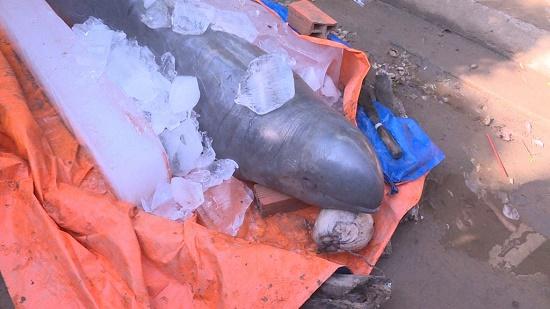Ngư dân bắt được cá hiếm 150kg trên sông Cổ Chiên đồng ý nhận 5 triệu tiền hỗ trợ - Ảnh 1