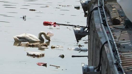 Thiên nga ở Hải Phòng ngất xỉu vì nắng nóng đã bình phục sau khi được cấp cứu tại Hà Nội - Ảnh 2