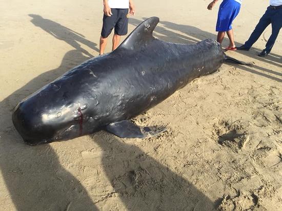 Bất ngờ phát hiện cá voi dài 4m, nặng gần 1 tấn trôi dạt vào bờ biển Hà Tĩnh - Ảnh 1