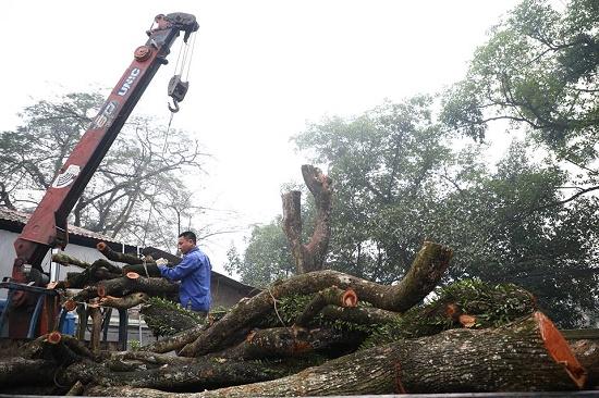 Chốt ngày bán đấu giá cây sưa quý từng được trả giá trăm tỷ ở Hà Nội - Ảnh 1