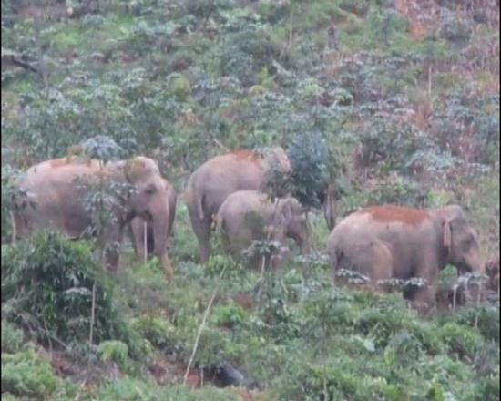 Nghệ An dự kiến chi hàng chục tỉ đồng bảo tồn khẩn cấp đàn voi - Ảnh 1