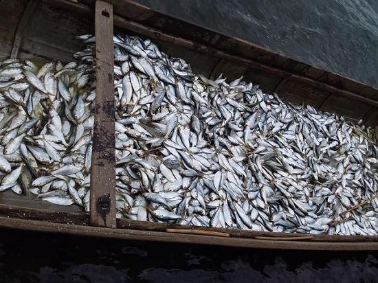 Ngư dân Quảng Trị trúng mẻ cá mòi lớn trên sông Thạch Hãn - Ảnh 1