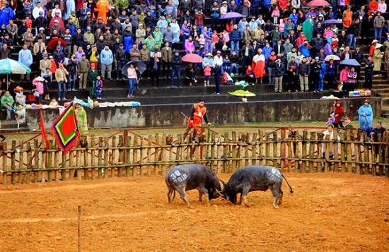 Đề nghị tạm ngừng tổ chức lễ hội chọi trâu Phù Ninh vì lo ngại virus corona - Ảnh 1