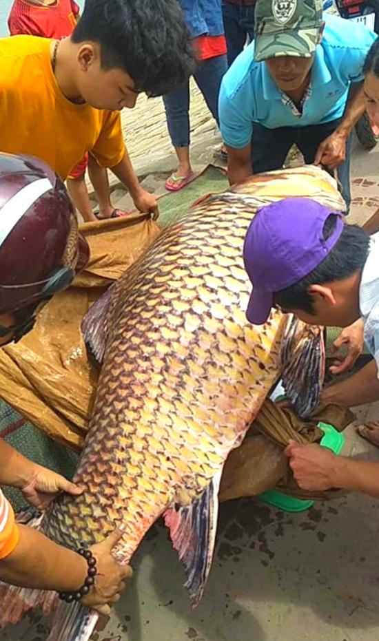 Cận cảnh con cá hô nặng 111kg được bày bán tại An Giang - Ảnh 2