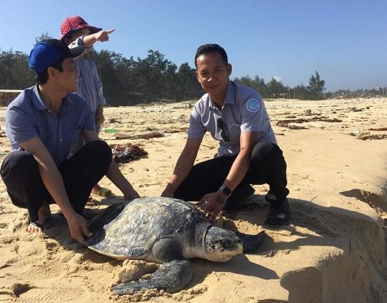 Cá thể đồi mồi nặng gần 50kg được thả về biển - Ảnh 1