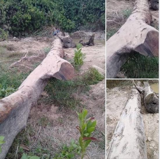 Tổ chức đấu giá cây gỗ lim trăm tuổi được người dân tìm thấy dưới suối - Ảnh 1