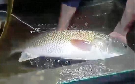 Ngư dân Nghệ An bắt được cá nghi sủ vàng quý hiếm nặng hơn 5kg - Ảnh 1