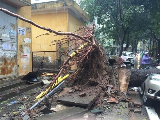 Cây cổ thụ ở Hà Nội bật gốc sau trận mưa lớn, đè bẹp xế sang đỗ bên đường - Ảnh 4
