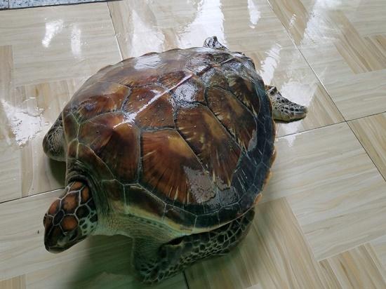 Cận cảnh cá thể rùa biển quý hiếm được thả về môi trường tự nhiên - Ảnh 1