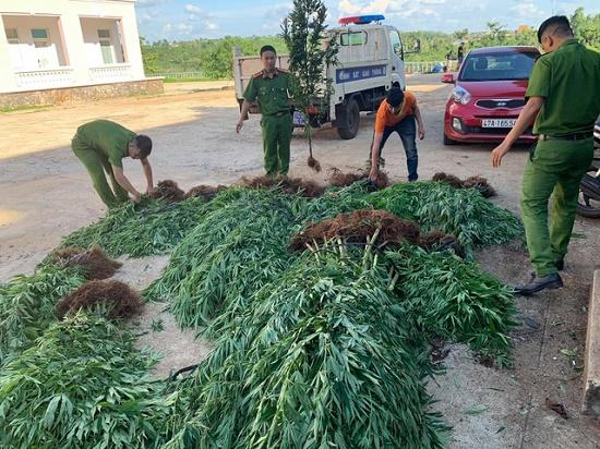 Người đàn ông trồng 500 cây cần sa rải rác trên 1ha đất rẫy cà phê khai gì? - Ảnh 1