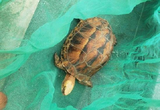 Giải cứu rùa hộp trán vàng rất quý hiếm tại Thừa Thiên - Huế - Ảnh 1