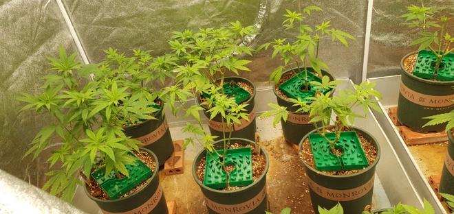 Thanh niên trồng 140 cây cần sa giữa lòng TP.Thủ Đức khai gì? - Ảnh 1