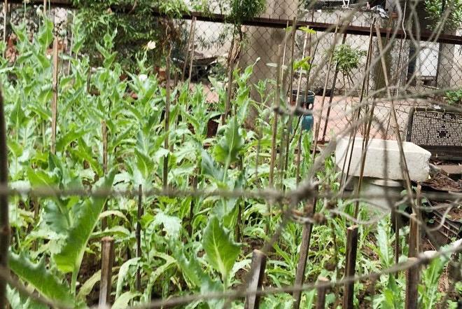 Phát hiện vườn anh túc hàng trăm cây giữa làng hoa Tây Tựu: Người đàn ông 52 tuổi khai gì? - Ảnh 1