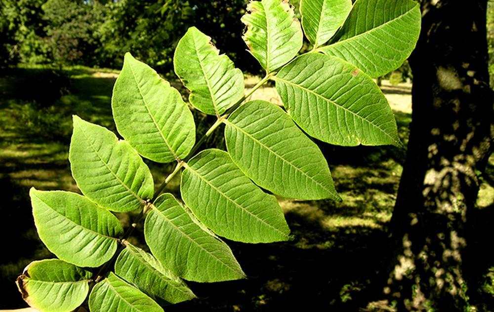 Nắm lá hay giúp giảm ngay bệnh Đại tràng ai ai cũng khen  - Ảnh 2