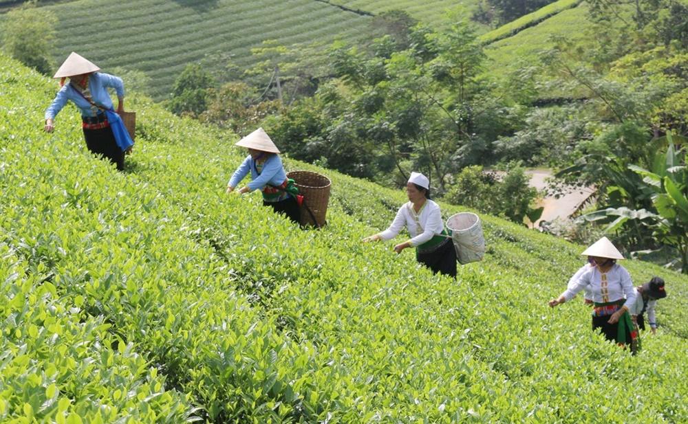 Phú Thọ: Chè Long Cốc nét độc đáo trong văn hóa ẩm thực Việt  - Ảnh 1